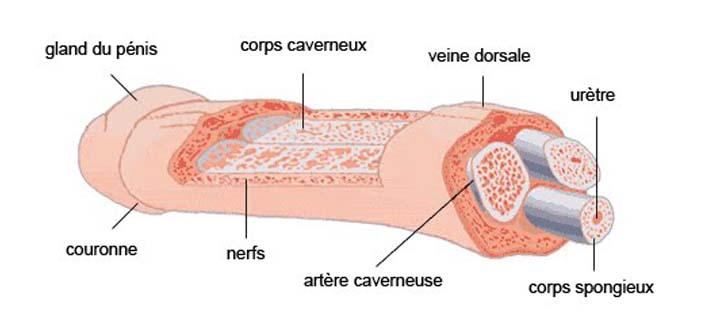 Fracture du pénis